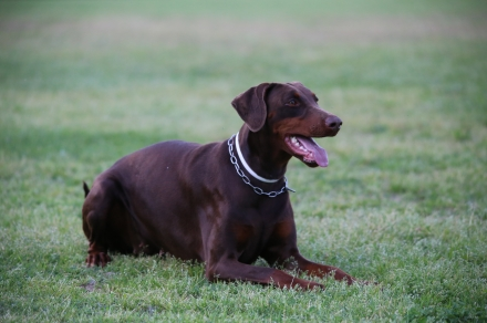 Jingles Von Der Horringhauser Hoh - Daskarera Dobermann Kennel